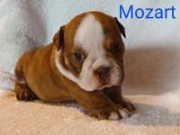 """MOZART"" BOY Chocolate baby, black/tan carrier Born:"