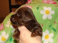 Beautiful solid chocolate female, longhaired, dob