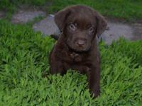 AKC Chocolate lab female pup for sale. I was going to