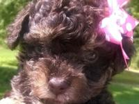 Adorable chocolate phantom female Toy Poodle puppy.