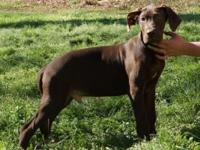 AKC GREAT DANE CHOCOLATE MALE. ONLY 1 LEFT due to