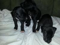 We have a litter of chocolate and black young puppies