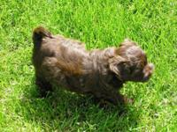 AKC Havanese, Chocolate Pigment, Brown with small White