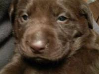 I have two beautiful male chocolate lab Puppies they