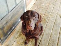 AKC limited registered male chocolate lab. He is just