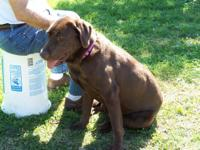 AKC, chocolate female lab, trained for house and does