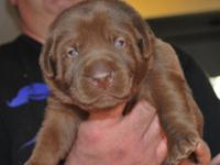 AKC chocolate lab young puppies born on March 27th. 4