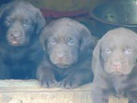 3 female akc chocolate lab puppies. Ready to join your