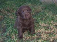 Beautiful AKC English Chocolate Lab pups, 3 males, 4