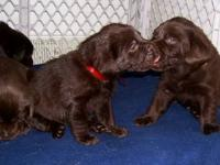 AKC Registered Labrador Retriever Puppies Born December