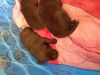 I HAVE A BEAUTIFUL litter of chocolate lab puppies .