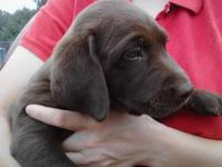 AKC Chocolate Lab Puppies SEE THE PUPPIES on YOUTUBE