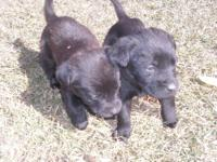 For Sale!!! Full blooded chocolate lab puppies! 7 males