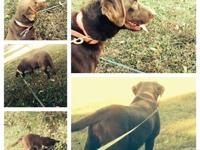 We have 2 chocolate lab litters due next Friday and