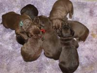 Beautiful champion bloodline AKC chocolate lab puppies.
