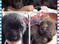 DELICIOUS CHOCOLATE LABRADOR PUPPIES 3 GUYS AND 2 GIRLS