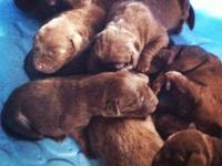 Young puppies are about 2 weeks old now! They are