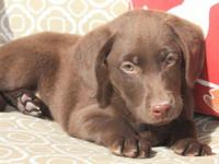 AKC Chocolate Lab puppies. Hunting lineage, great