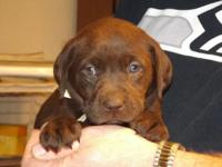 Adorable Chocolate Lab puppies, born June 25, now 3
