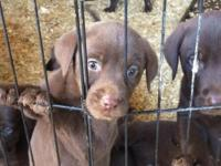 AKC Chocolate lab puppies for sale. Ready October 2nd.