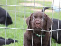 AKC LABRADOR CHOCOLATE PUPS. To go home on November 15