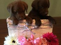 We have 9 Chocolate Labrador Retriever puppies left