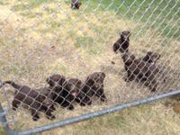 Adorable AKC Chocolate Puppies- 7 males. Large, good