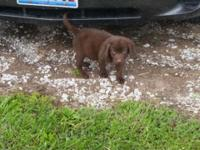 I have a 11 week old male chocolate lab. He is the runt