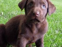 AKC Chocolate Lab pups. Quality bred for the field and