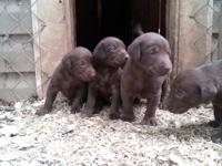 12 AKC Chocolate Lab pups for sale. They will be ready