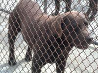 AKC Chocolate Lab Pups - Ready October 4th. Beautiful