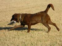 We are expecting a litter of champion hunt test bred,