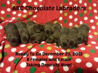 AKC Chocolate Labrador Puppies Ready To Go December 23,