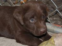 Puppies will come with full AKC registration, first