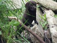Available: AKC DELICIOUS CHOCOLATE LABRADOR PUPPIES!. I