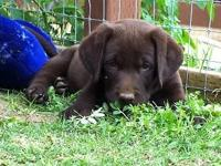 LABRADOR AKC CHOCOLATE GORGEOUS PUPPIES Premium Quality