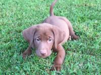 AKC Labrador Puppies, Candlewood and Kellogg blood