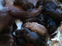 Akc English Labrador retriever puppies taking deposits