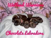 Akc Chocolate Labrador Puppies. This is a repeat