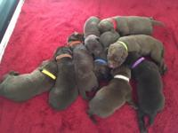 I have nine adorable AKC chocolate lab puppies. (3