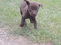 AKC registerable chocolate labrador retriever puppies.