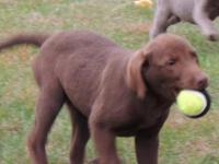 AKC Chocolate Labrador Retriever puppy. Sweet little