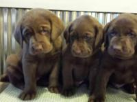 3 Chocolate Males Available..Born 2-20-2015...Will make
