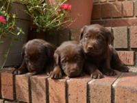 *Working Dogs* We have a litter of beautiful Dark