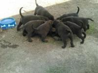 We have beautiful puppies chocolate AKC Labrador