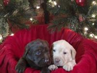 Taking deposits now for Christmas puppies. Deposit is