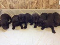 Quality bred chocolate Labs. We have five males