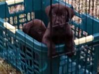 AKC Chocolate Lab Purebred Puppies For Sale $775.