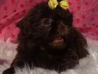 AKC Champion Lined Chocolate Shih Tzus puppies now