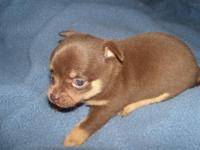 Akc Chocolate Male Chihuahua Puppy. His mom is a